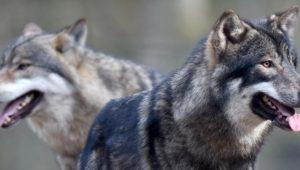 Ein neuer Umgang mit dem Wolf