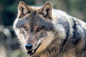 Mehr Wölfe und mehr Probleme