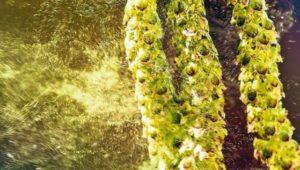 Ein spezieller Pollen-Jahrgang