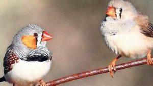 Zebrafinken singen gegen den Klimawandel